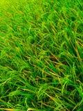 los campos del arroz son todavía verdes Foto de archivo