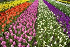 Los campos multicolores de narcisos, de tulipanes y de jacintos en Holanda Foto de archivo libre de regalías