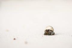 Los cangrejos de ermitaño están pegando la cabeza fuera de la cáscara Fotografía de archivo