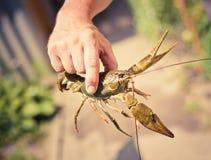 Los cangrejos a disposición Fotos de archivo