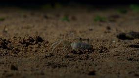 Los cangrejos esperan los hatchlings jovenes de la tortuga de hawksbill para venir a ellos britain fotos de archivo