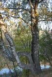 Los caprichos de la madre naturaleza; el tronco torcido de un abedul Imagen de archivo libre de regalías