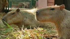 Los capybaras del dúo están comiendo muchas hierbas en la tierra almacen de video