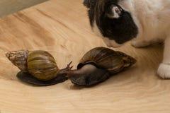 Los caracoles africanos Achatina en casa con el gato los huelen Fotografía de archivo