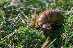Los caracoles africanos adultos del achatina comen la hierba verde al aire libre debajo de la lluvia Imagen de archivo libre de regalías