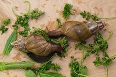 Los caracoles africanos del achatina comen verdes en casa Imagenes de archivo