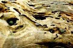 Los caracoles de mar viven en agujeros de un tronco de árbol viejo fotografía de archivo libre de regalías