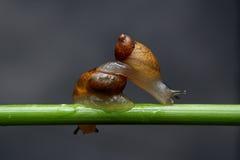 Los caracoles son cruz que camina Fotografía de archivo libre de regalías