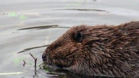 Los castores comen en presas del agua en el fondo de registros y de árboles secos en Ushuaia