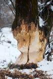 Los castores gruesos del árbol roen Imagen de archivo libre de regalías