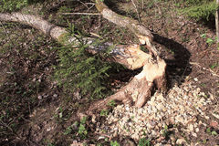 Los castores habían roído árboles Fotografía de archivo libre de regalías