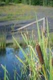 Los cattails de la espadaña se cierran para arriba con las hojas suaves del fondo del verde del foco foto de archivo libre de regalías
