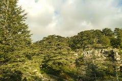 Los cedros de la reserva del bosque de Líbano cerca de Bcharre en Líbano foto de archivo