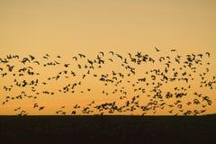 Los centenares de gansos de nieve vuelan sobre la reserva de Bosque del Apache National en la salida del sol, cerca de San Antoni Fotografía de archivo libre de regalías