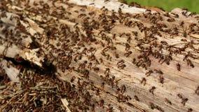 Los centenares de hormigas que corren alrededor de su colonia en un registro viejo de doty jerarquizan el primer almacen de video