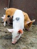 Los cerdos Foto de archivo libre de regalías