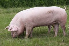 Los cerdos de la raza del Duroc-Jersey pastan en pasto en la granja fotos de archivo libres de regalías