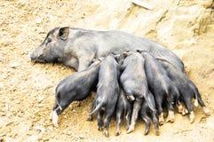 Los cerdos del bebé están comiendo Fotografía de archivo