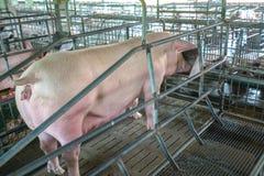 Los cerdos en la granja imagen de archivo