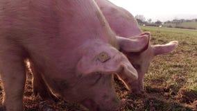 Los cerdos felices en el fango miran a la cámara almacen de metraje de vídeo