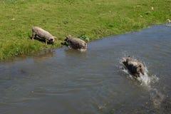 Los cerdos funcionados con a través del río fotografía de archivo
