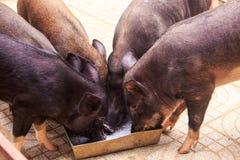 Los cerdos negros del primer comen de canal en parque zoológico Fotografía de archivo libre de regalías