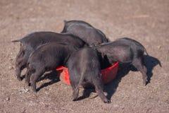 los cerdos son negros Animales de la comida foto de archivo