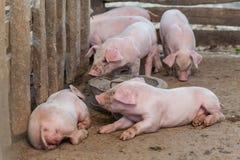 Los cerdos son parada reunida de la comida en la estructura fuera de madera fotos de archivo libres de regalías