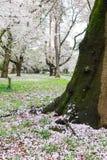 Los cerezos en Omiya parquean, Saitama, Japón en primavera Con los pétalos del sakurafubuki y de la flor de cerezo en la tierra Fotografía de archivo