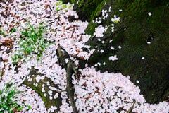 Los cerezos en Omiya parquean, Saitama, Japón en primavera Con los pétalos del sakurafubuki y de la flor de cerezo en la tierra Fotografía de archivo libre de regalías