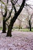 Los cerezos en Omiya parquean, Saitama, Japón en primavera Con los pétalos del sakurafubuki y de la flor de cerezo en la tierra Imágenes de archivo libres de regalías