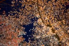 Los cerezos en Ueno ParkUeno Koen en el distrito de Ueno de Taito, Tokio, Japón son se encienden para arriba durante Ueno Sakura  Fotos de archivo libres de regalías