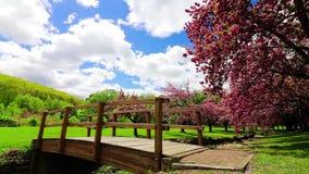 Los cerezos rosados se sacuden en una brisa apacible debajo de un cielo nublado azul con un puente de madera redondo en primero p almacen de metraje de vídeo