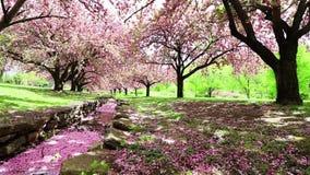 Los cerezos rosados se sacuden en una brisa apacible sobre un canal de piedra metrajes