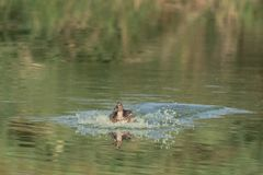 Los charcos del pato en la fabricación del agua salpican imagen de archivo libre de regalías