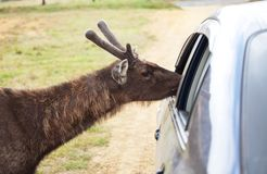 Los ciervos acercan al coche fotografía de archivo libre de regalías