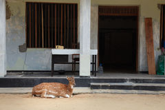 Los ciervos adulan en la ciudad delante de un edificio Fotos de archivo libres de regalías