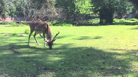 Los ciervos comen la hierba en un parque zoológico almacen de metraje de vídeo