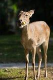 Los ciervos de Eld Fotos de archivo