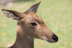 Los ciervos de Eld Foto de archivo