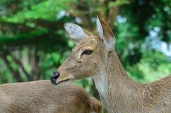 Los ciervos de Eld también conocidos como el thamin o los ciervos frente-antlered Imagenes de archivo