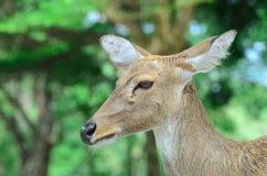 Los ciervos de Eld también conocidos como el thamin o los ciervos frente-antlered Imágenes de archivo libres de regalías