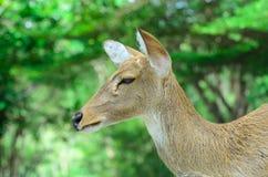 Los ciervos de Eld también conocidos como el thamin o los ciervos frente-antlered Foto de archivo libre de regalías