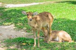 Los ciervos de Eld también conocidos como el thamin o los ciervos frente-antlered Foto de archivo