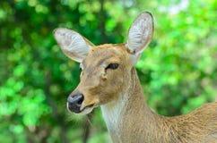 Los ciervos de Eld también conocidos como el thamin o los ciervos frente-antlered Fotografía de archivo libre de regalías