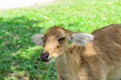 Los ciervos de Eld también conocidos como el thamin o los ciervos frente-antlered Fotos de archivo libres de regalías