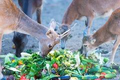 Los ciervos de huevas comen los pedazos vegetales Fotografía de archivo