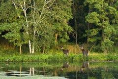 Los ciervos de la cola blanca acercan al lago Imágenes de archivo libres de regalías