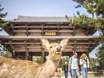 Los ciervos de la puerta de lunes del nandai Foto de archivo