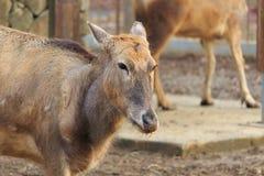 Los ciervos de Père David Fotos de archivo